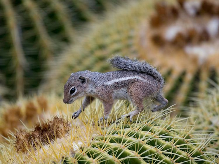 HARRIS'S ANTELOPE SQUIRREL 2nd place winner of the 2018 Adventures in Nature photo contest, by Sean Stubben of Gilbert, Arizona © Sean Stubben